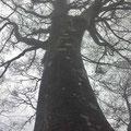 モノトーンに写るブナの巨木(8合目付近)