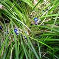 リュウノヒゲ/ブルーの玉がきれい