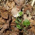 センボンヤリ(春花)