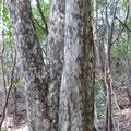 珍しいカゴノキの大木です