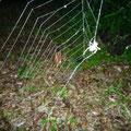 巣作り中のクモ