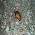 羽化寸前のセミ幼虫