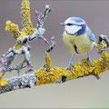 Blaumeise (Parus caeruleus), Thüringen 2012