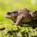 Erdkröte (Bufo meridionalis)