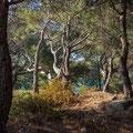 Pinienwald am Kap
