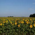 Sonnenblumen bis zu Abwinken