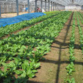 葉菜栽培風景