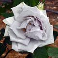 ヴェルニー公園のバラ (青の軌跡)