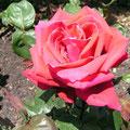 ヴェルニー公園のバラ (クリスチャンディオール)