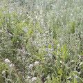 Heilpflanzenwiese