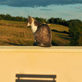 Les Lipias - die Katze Aida hält Ausschau nach Feldmäusen