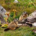 Murmeltiere auf dem Tungelpass