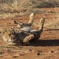 Cheetah - Fotograaf: Petra van Boordt