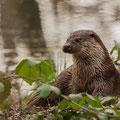 Otter - Fotograaf: Yolanda van der Wal