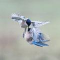 Blauwe ekster - Fotograaf Bert van den Broek