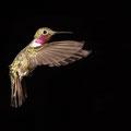 Petra Van Boordt - Kolibri