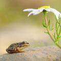 Iberische groene kikker - Fotograaf: Angela de Wild