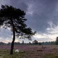 Pieter van Dijk - Piëmontese runderen op het Leersumse veld