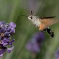 Kolibrievlinder - Fotograaf Henk Steenbergen