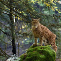 Lynx - Fotograaf: Eric Gibcus