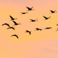 Kraanvogels - Fotograaf: Hans Peeters