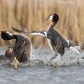 Vechtende futen - Fotograaf: Pieter van Dijk