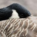 Canadese gans - Fotograaf: Pieter van Dijk