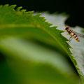 Zweefvlieg - Fotograaf: Mark van Veen