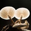 Porceleinzwam - Fotograaf: Caroline Wirtz