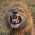Leeuw - Fotograaf: Marvin Egberts