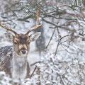 Damhert in de sneeuw - Fotograaf: Adé Hiemstra