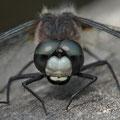 Zierliche Moosjungfer (Leucorrhinia caudalis) - Männchen