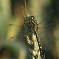 Gomphus graslinii (Französische Keiljungfer) - Männchen