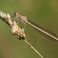 Sibirische Winterlibelle (Sympecma paedisca) - Weibchen