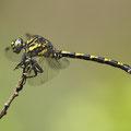 Onychogomphus uncatus (Große Zangenlibelle) - Männchen