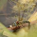 Brachytron pratense (Früher Schilfjäger) - Weibchen bei der Eiablage