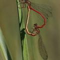 Zarte Rubinjungfer (Ceriagrion tenellum) - Paarungsrad