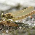Onychogomphus forcipatus forcipatus (Kleine Zangenlibelle) - schlüpfendes Männchen
