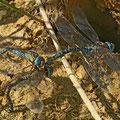 Aeshna affinis (Südliche Mosaikjungfer) - Tandem-Eiablage + attackierendes Männchen