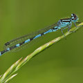 Vogel-Azurjungfer (Coenagrion ornatum) - Männchen