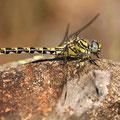 Onychogomphus uncatus (Große Zangenlibelle) - Weibchen