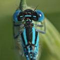 Pokaljungfer (Erythromma lindenii) - Männchen im Detail (Hinteraugenflecken)