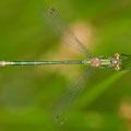 Gemeine Binsenjungfer (Lestes sponsa) - junges Männchen