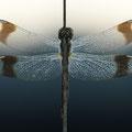 Gebänderte Heidelibelle (Sympetrum pedemontanum) - Weibchen