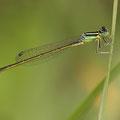 Kleine Pechlibelle (Ischnura pumilio) - junges Männchen