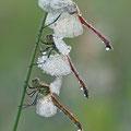 Sumpf-Heidelibelle (Sympetrum depressiusculum) - 2 Männchen, 1 Weibchen (unten)