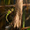 Aeshna cyanea (Blaugrüne Mosaikjungfer) - Weibchen bei der Eiablage