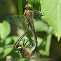 Cordulia aenea (Gemeine Falkenlibelle) - Paarungsrad