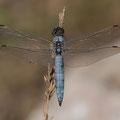 Südlicher Blaupfeil (Orthetrum brunneum) - Männchen