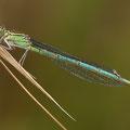 Pokaljungfer (Erythromma lindenii) - Weibchen